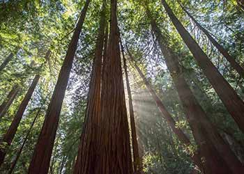 Naturreservater i USA: Muir Woods